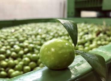 Come e quando avviene la raccolta delle olive, le cose da sapere