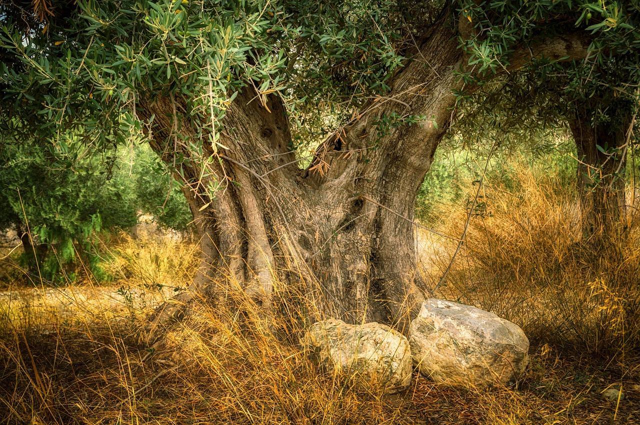 oleificio sant'anna albero di oliva