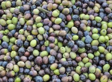 Dagli oliveti all'olio extravergine, come avviene l'estrazione dell'olio